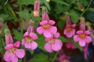 ミムラスのピンクの花