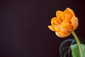 tulip-1345538_640