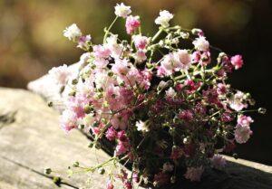 bag-gypsofilia-seeds-1716668_640