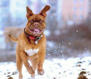 snow-dog-de-bordeaux-158682